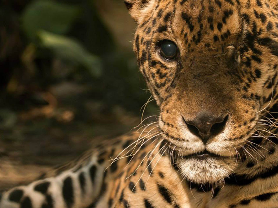 JOURNEY IN INCA LAND FOR THE PROTECTION OF THE JAGUARS.